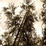 La Scala delle olive