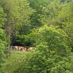 Produzione di latte per il Castelmagno