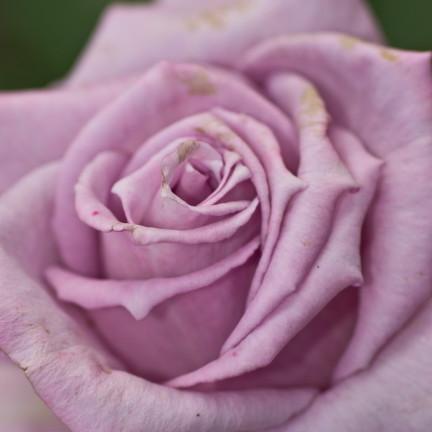 Rosa viola